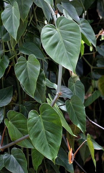 Parlor Ivy